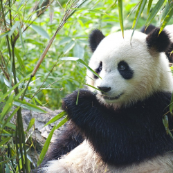 In Pursuit of Panda's - China - 7 Nights